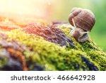 Burgundy Snail  Helix  Roman...