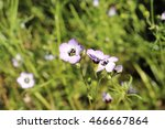 "Small photo of ""Bird's-eye Gilia"" flower (or Bird's-eyes, Tricolor Gilia) in St. Gallen, Switzerland. Its Latin name is Gilia Tricolor, native to western California."