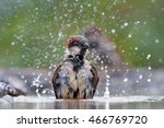 House Sparrow Bathing With...