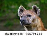 Spotted Hyena  Crocuta Crocuta...