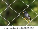 Small photo of Jungle Myna or Acridotheres fuscus sitting on a fence at the Chinnar Wildlife Sanctuary in Marayoor near Munnar, Kerala, India
