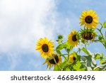 wild sunflowers in daylight. ... | Shutterstock . vector #466849496