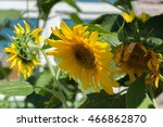 Постер, плакат: sunflowers growing near the