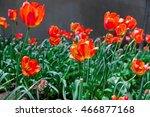 Flowerbed Of Red Tulips Under...