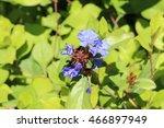"""""""hardy Blue Flowered Leadwort""""..."""