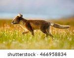 Arctic Fox  Vulpes Lagopus  In...
