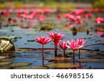 Red Lotus Field In Udon Thani ...