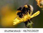 Bumblebee  Bombus