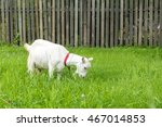 White Goat In The Village. ...