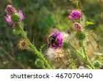 Bumble Bee Pollinating A Cotto...