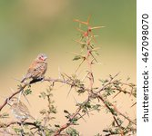 cut throat finch sitting on... | Shutterstock . vector #467098070