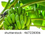 Banana Tree With A Bunch...