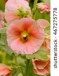 Small photo of Rose Hollyhock with bumblebee / Rosa Stockrose mit Hummel (Alcea rosea)