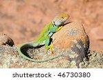 Green Collared Lizard