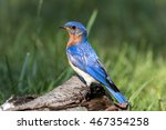 beautiful male eastern bluebird ... | Shutterstock . vector #467354258