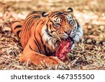 A Great Looking Tiger Is...
