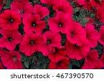 Crimson Red Blooming Petunia...