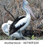 pelicans | Shutterstock . vector #467409104