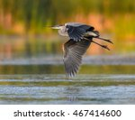 Great Blue Heron Flying In...