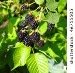 Blackberry Growings In A Garden