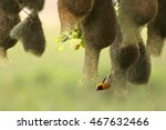 Baya Weaver Nesting Colony