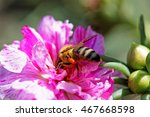 Small photo of Macro view of one honeybee (Apis mellifera) alighted on a blooming pink flower and collecting pollen
