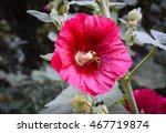 Small photo of Red Hollyhock (Alcea) With Bee
