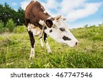 cow in the field. cow grazing... | Shutterstock . vector #467747546