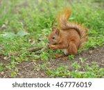 Cute Red Squirrel Eating Walnut ...