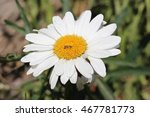 A Large Decorative Chamomile...