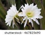 White Cactus Flowers
