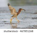 green heron running with fish    Shutterstock . vector #467851268
