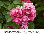 cup blooms pink rose in garden | Shutterstock . vector #467997164