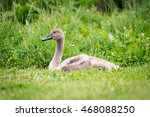 One Young Swan Or Cygnet Is...