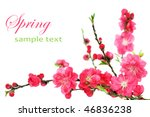 Fresh, pink, spring cherry tree blossoms on white background. Shallow DOF. - stock photo