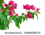 Fresh Pink Bougainvillea On...
