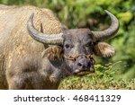 vietnamese water buffalo | Shutterstock . vector #468411329