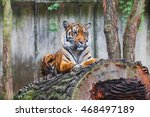 Beautiful Rare Sumatran Tiger...