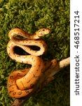 Small photo of Amazon tree boa (Corallus hortulanus) snake on green background