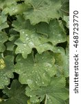 Small photo of Raindrops on the Leaves of Alchemilla mollis (Lady's Mantle) in a Rural Country Garden in Devon, England, UK