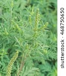 Small photo of Ambrosia artemisiifolia causing allergy. It has also been called annual ragweed, bitterweed, blackweed, carrot weed, hay fever weed, stammerwort, stickweed, tassel weed, and American wormwood.