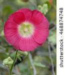 Small photo of Red Alcea rosea is an ornamental plant in the Malvaceae family.