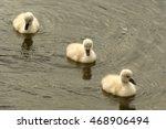 Three White Swan Chicks...