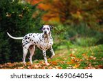 dalmatian staying and posing at ... | Shutterstock . vector #469064054