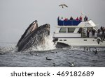 A Humpback Whale Lunge Feeds In ...