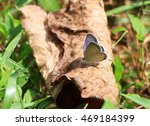 Gray Hairstreak Butterfly