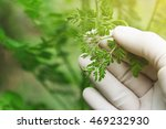 doctor hand picking young herb... | Shutterstock . vector #469232930