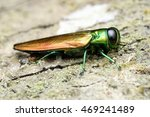 agrilus planipennis   emerald... | Shutterstock . vector #469241489
