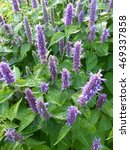 Small photo of Agastache rugosa is a medicinal and ornamental plant. Lamiaceae family