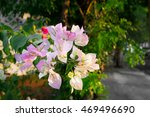Pastel Color Of Bougainvillea ...